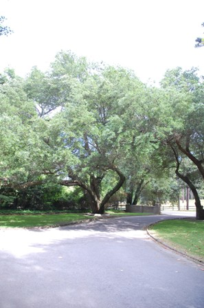 Live Oaks at Campbell House